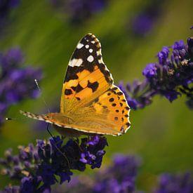 Vlinder zittend op lavendel van Joris Pannemans