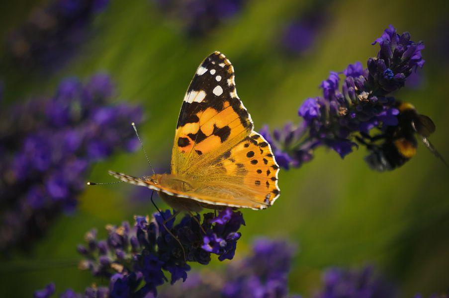 Vlinder zittend op lavendel van Joris Pannemans - Loris Photography