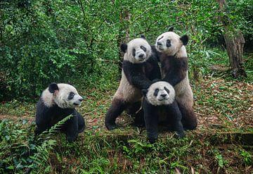 Schattige pandaberen ( giant panda of reuzenpanda ) in bos van Chihong