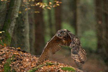 Uhu (Bubo bubo) im Flug durch den Herbstwald, Europa. von wunderbare Erde