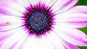 Soleil violet