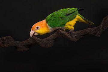Grüner Papagei von Elles Rijsdijk