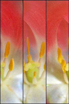 Coeur de tulipe sur