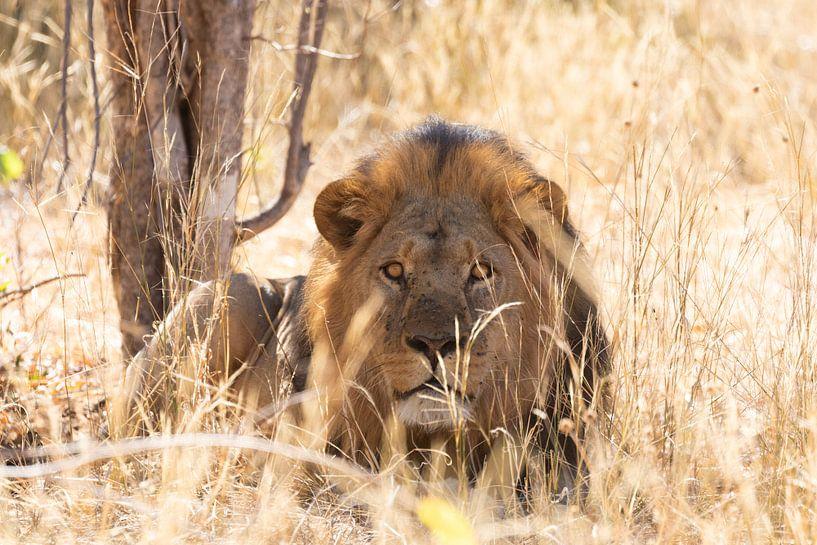 Männchen Löwe von GoWildGoNaturepictures