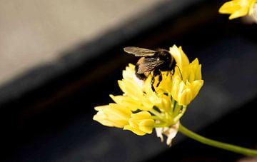 Bienenfliege auf einer Blume von hetty'sfotografie