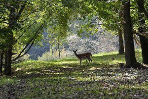 Hert op bospad van
