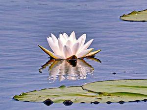 Waterlelie/Heilige Lotus