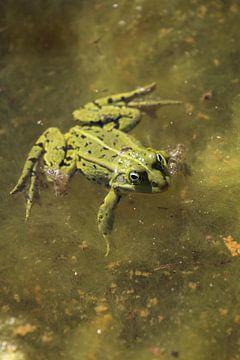 Grüner Frosch im Teich von Eline Lohman