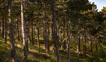 Naaldbomen in een bos met een mooie ochtendzon van Percy's fotografie