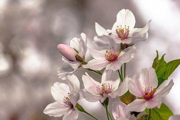 kersenbloesem von Frans Bruijn