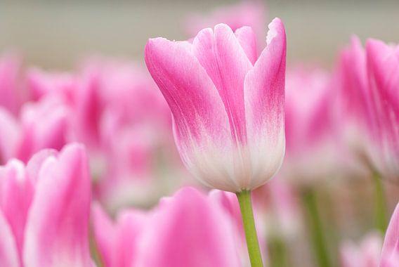 Roze tulp van Franke de Jong