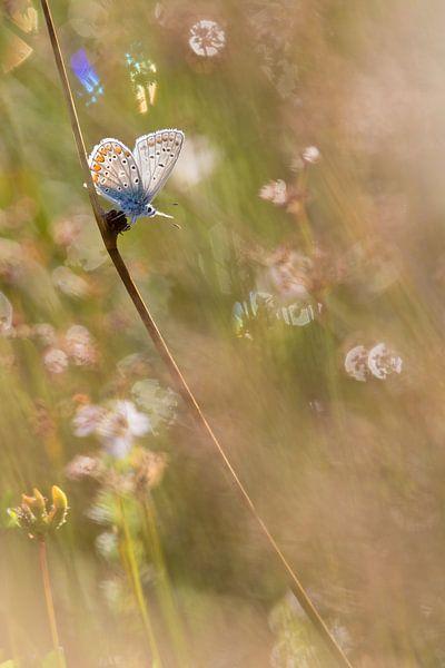 Icarusblauwtje van Theo Klos