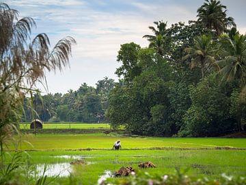 Indien - Alleppey - Der Reisbauer von Rik Pijnenburg