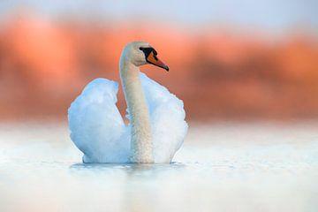 Mute Swan (Cygnus olor) von AGAMI Photo Agency