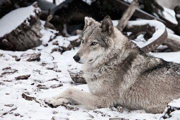 De schoonheid in profiel is groot en indrukwekkend. Grijze wolf vrouwtje in de sneeuw, mooi sterk di van Michael Semenov