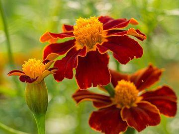 Fel gekleurde rood en gele bloemen von Frank Hoekzema