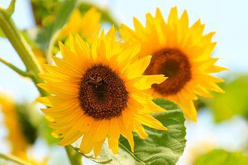 Zonnebloemen van Fotografia PB