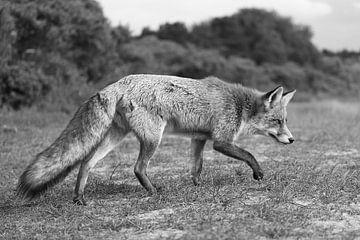 Fuchs in den Dünen der Amsterdamer Wasserversorgung von Sander Jacobs