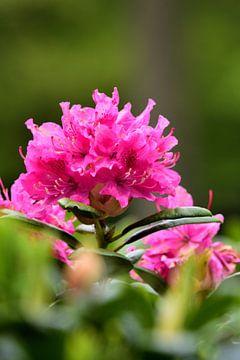 Blüten eines Rhododendrons (stehend) von Gerard de Zwaan