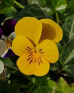Gelbes Garten-Stiefmütterchen von Wim vd Neut