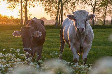 Kuh und Stier in der Brugse Ommeland (Damme, Belgien) bei Sonnenuntergang von Nele Mispelon