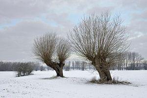 Old pollard willows ( Salix sp. ) on a frosty winter morning van