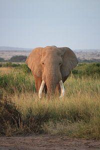 Koning van de savanne.