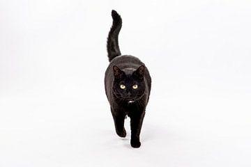 Zwarte kat op witte achtergrond