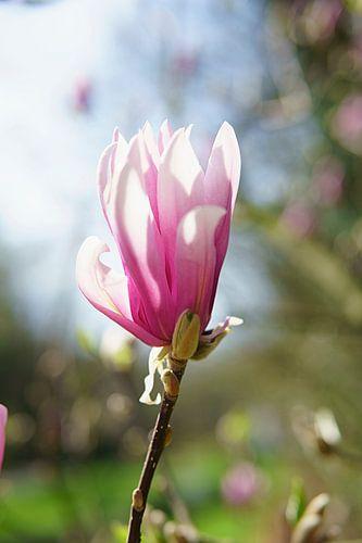 Magnolia van Antoine Ramakers