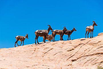 Dikhoornschapen op de rotsen van de Valley of fire in Amerika van Linda Schouw