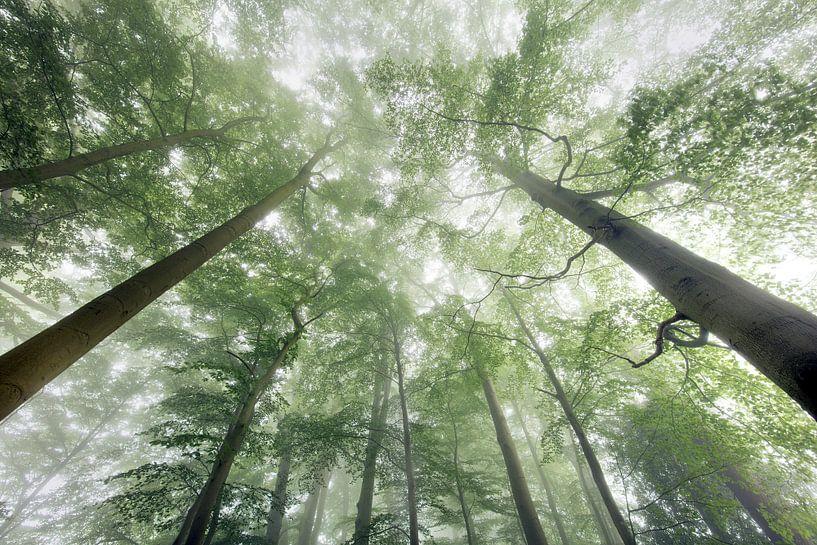 Des hêtres dans le brouillard. sur Frans Lemmens