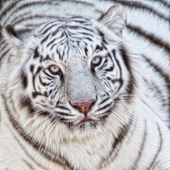 Witte tijger close up van Marcel van Balken