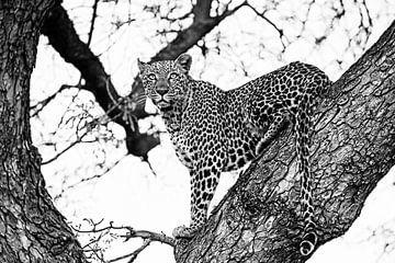 Little Bush Vrouwtjes Luipaard von Lotje Hondius