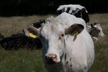 Koe von Maaike Krimpenfort