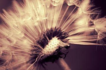 Dandelion sepiadream van Julia Delgado
