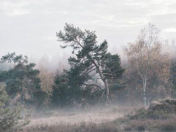 Kiefer im Herbstnebel von Max Schiefele