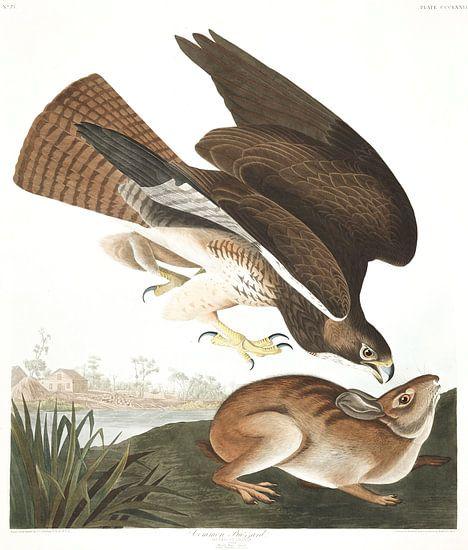 Buizerd van Birds of America