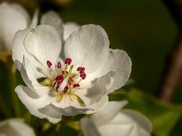 Birnenblüte in der Betuwe, die Niederlande (4) von Adelheid Smitt