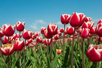 Rode met witte tulpen in het veld van Ivonne Wierink
