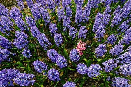 Blauwe hyacinten met een roze verstekeling