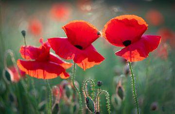 Mohnblumen im Licht der untergehenden Sonne #5 von Edwin Mooijaart