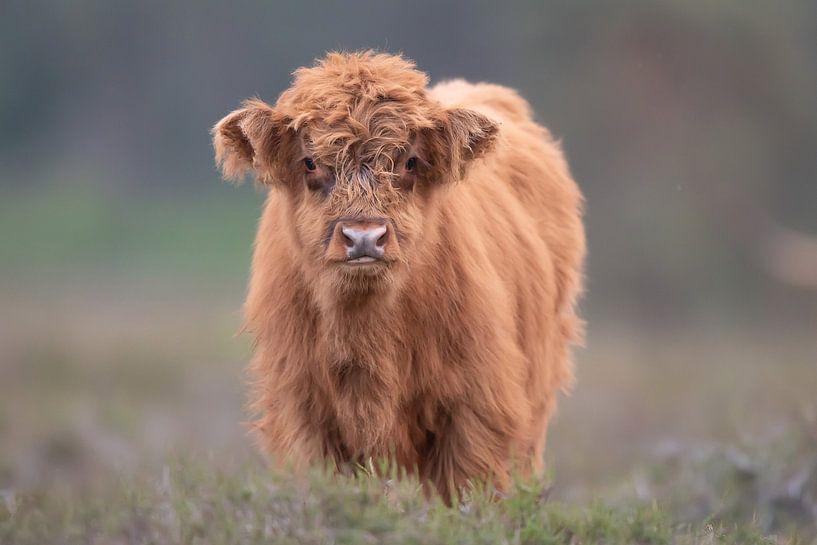Schottisches Highlander-Kalb von Dennis Bresser