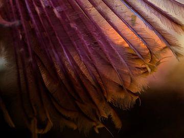 De verenpracht van de Sabella pavonina van