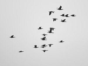 A Flock of Cormorants van