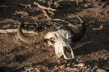 Buffel schedel | buffalo skull van Melanie Bruin