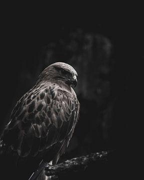 De blik van een arend -  dierenfotografie