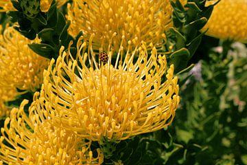 Gelb blühender Nadelkissen-Silberbaum mit Marienkäfer von Ines Porada