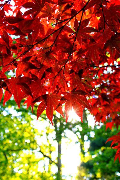 Japanse rode bladeren van Daniel van Delden