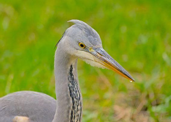 Close-up van een jonge blauwe reiger