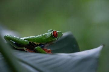 Costa Rica grüner Rote-Augen-Frosch von Mirjam Welleweerd